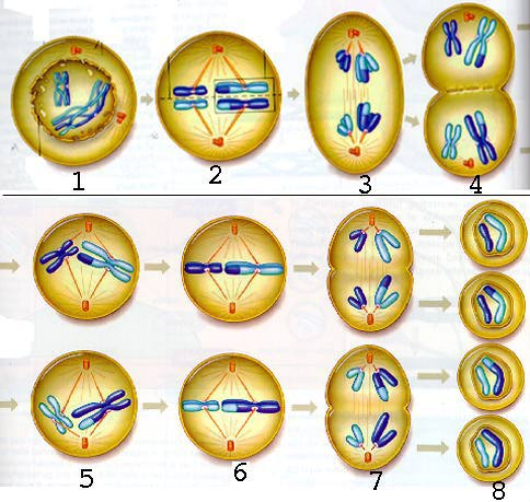 http://4.bp.blogspot.com/_Lar-H-zwOZY/TQLuH1glGoI/AAAAAAAAAAw/hfggSFPZygE/s1600/meiosis2.jpg