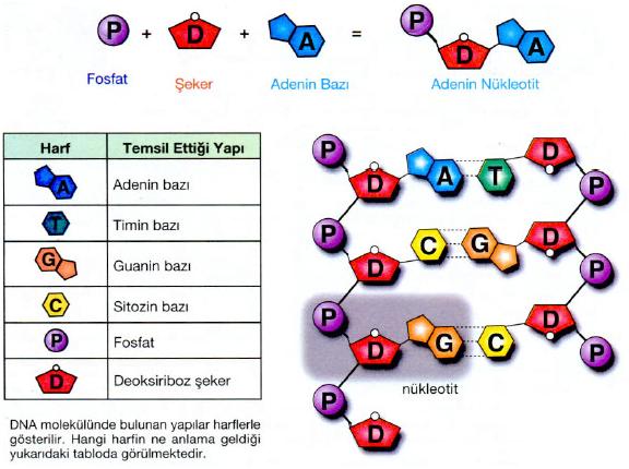 http://fenokulu.net/kavramresim4/nukleotit2.jpg